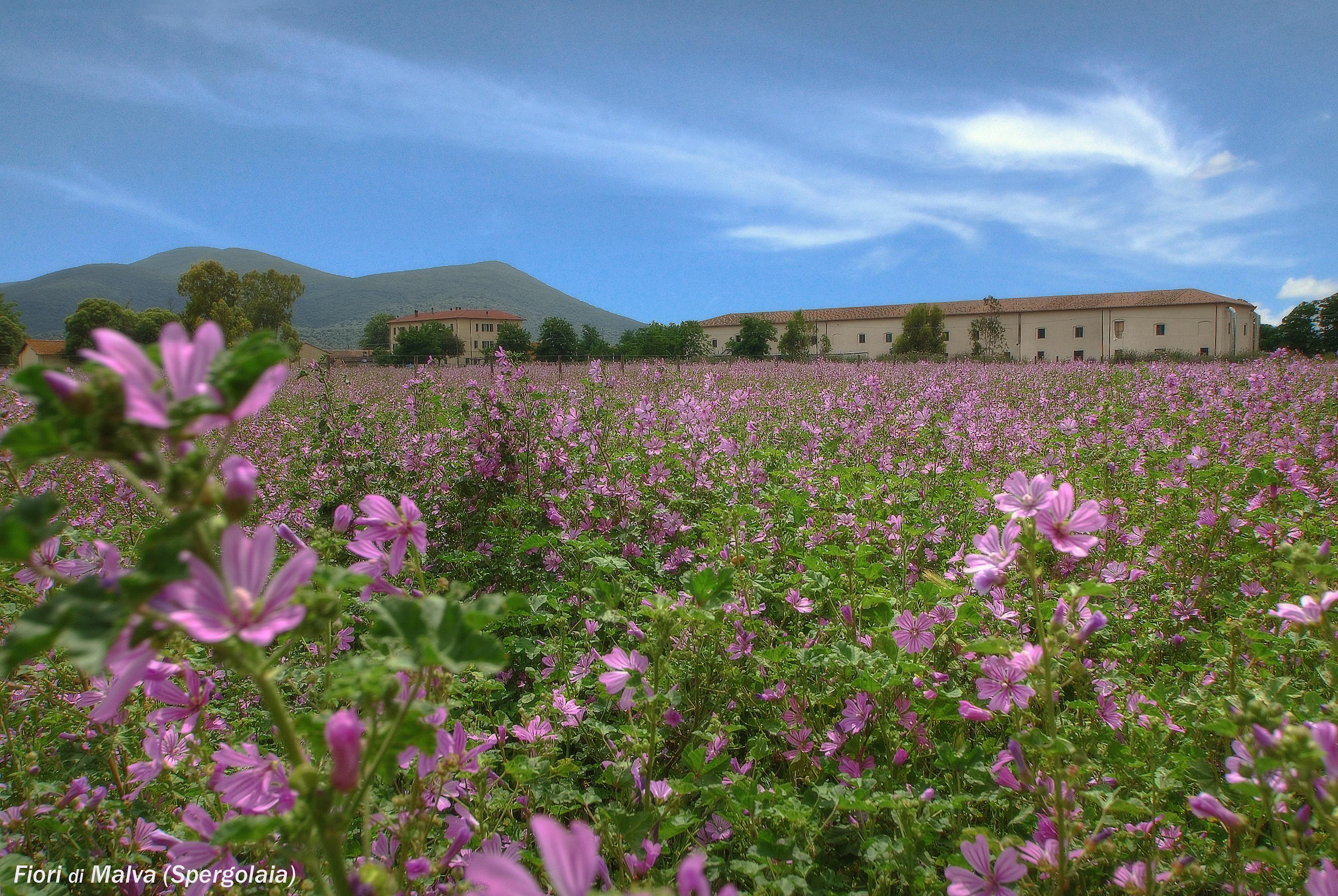 Spergolaia en la Toscana
