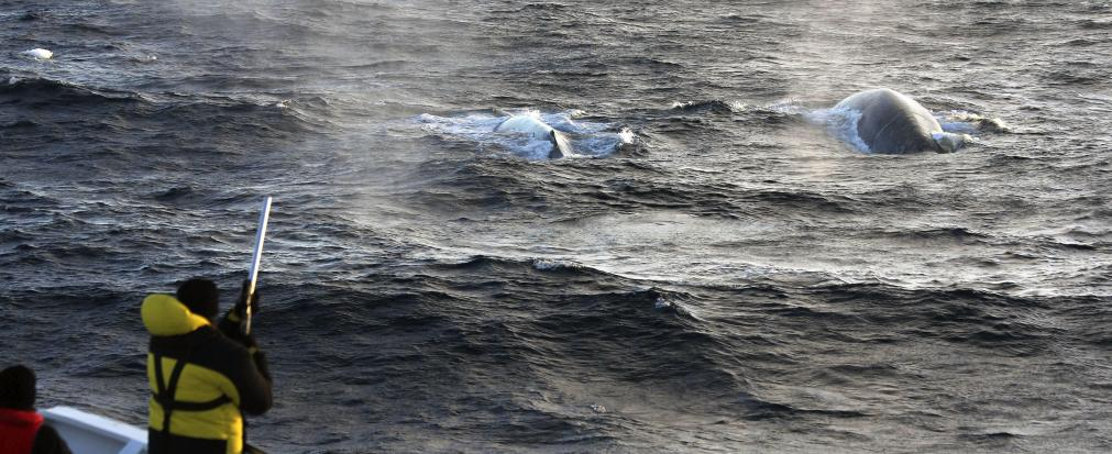 Fotografía facilitada por Australian Antartic Divison de un científico tomando muestras para biopsias de ballena azul, a bordo del barco Amaltal Explorer. Los científicos han conseguido captar hasta 26.545 cantos de ballena azul en la Antártida.