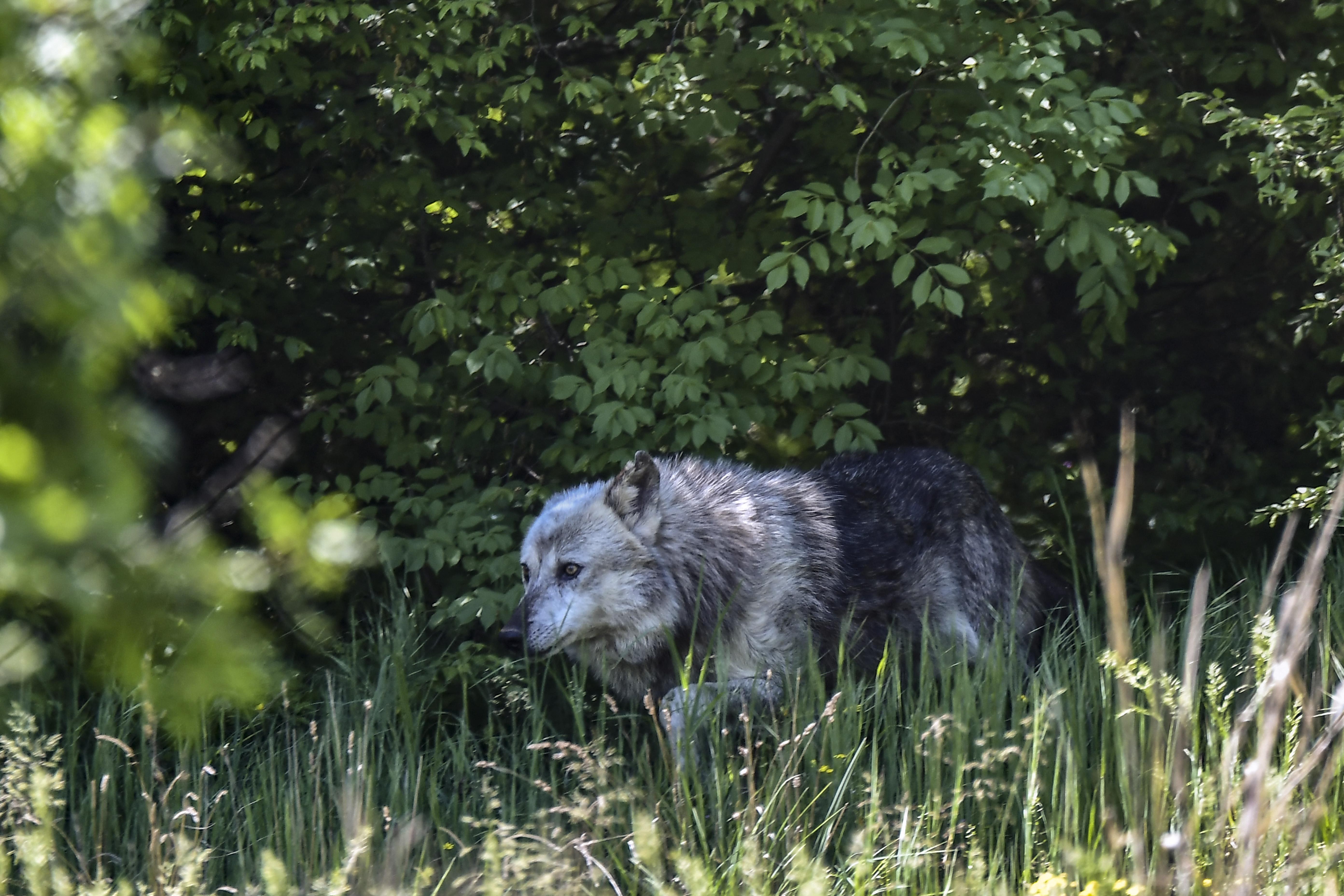 Saône-et-Loire : la présence d'un loup confirmée, le plan national d'action déclenché