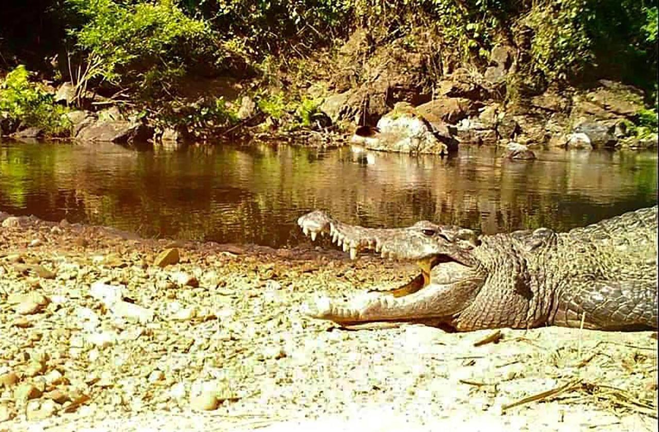 En danger d'extinction, un crocodile du Siam aperçu dans un parc de Thaïlande