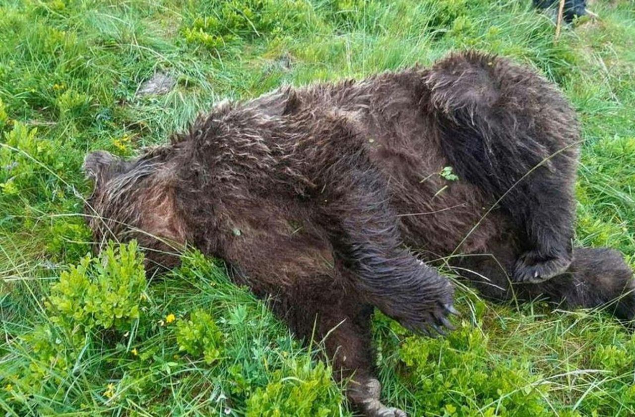 Pyrénées : l'Etat mis en demeure de remplacer les ours tués