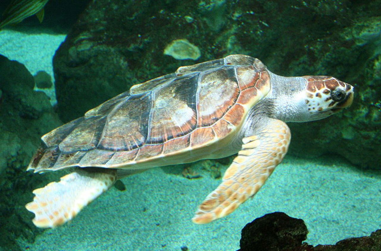 Var : une tortue marine vient pondre sur une plage très fréquentée de Fréjus