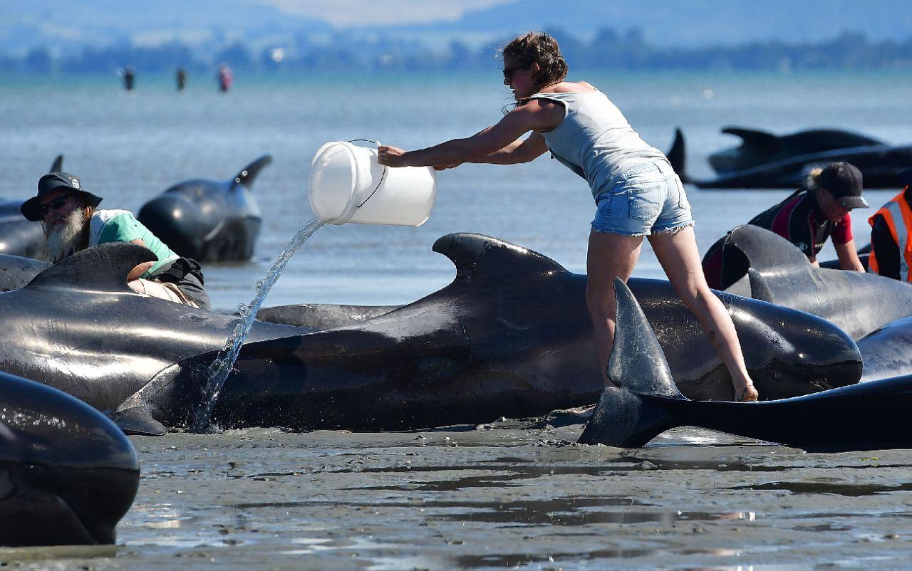 Nouvelle-Zélande : des dizaines de «dauphins-pilotes» échoués, la course contre la montre pour tenter de les sauver