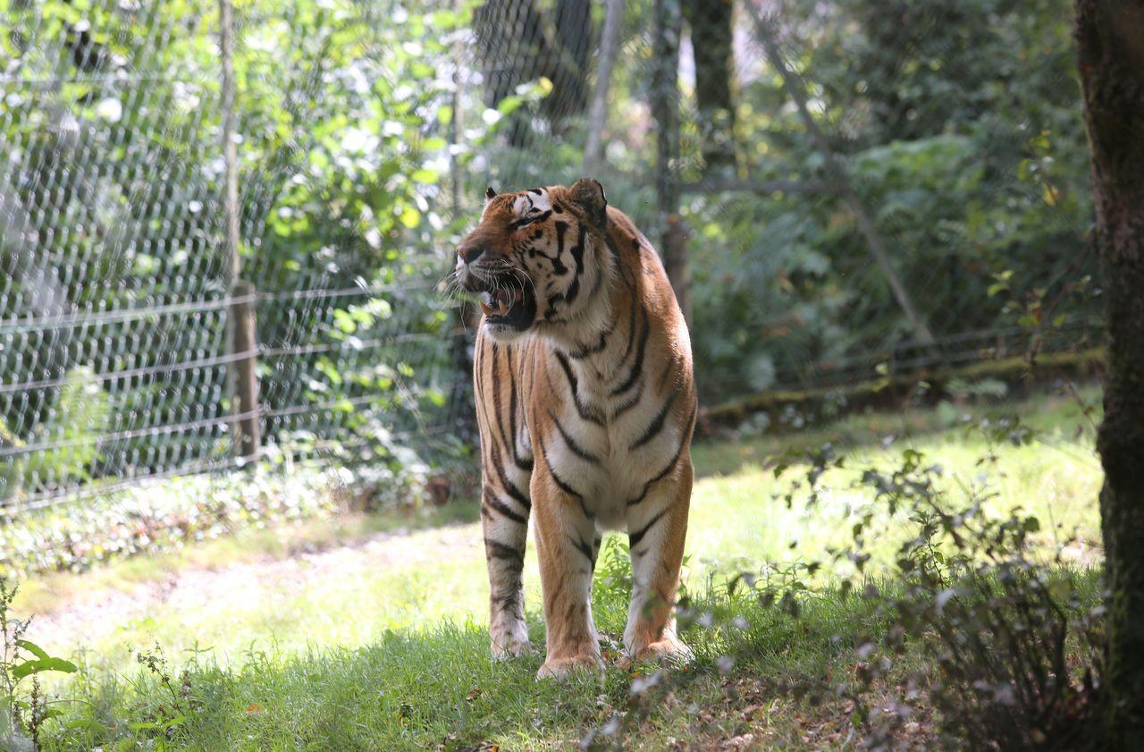 Suisse : une gardienne du zoo de Zurich tuée par un tigre