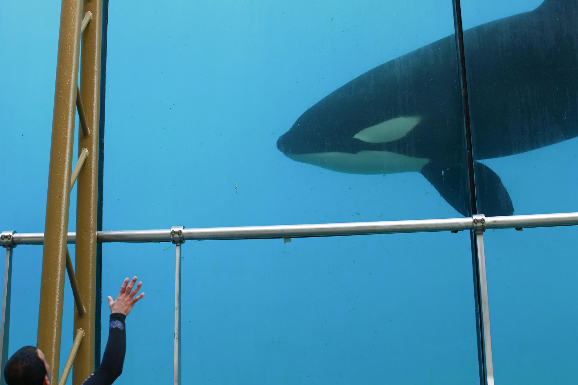 VIDÉO. Huit requins gris sont nés à Marineland
