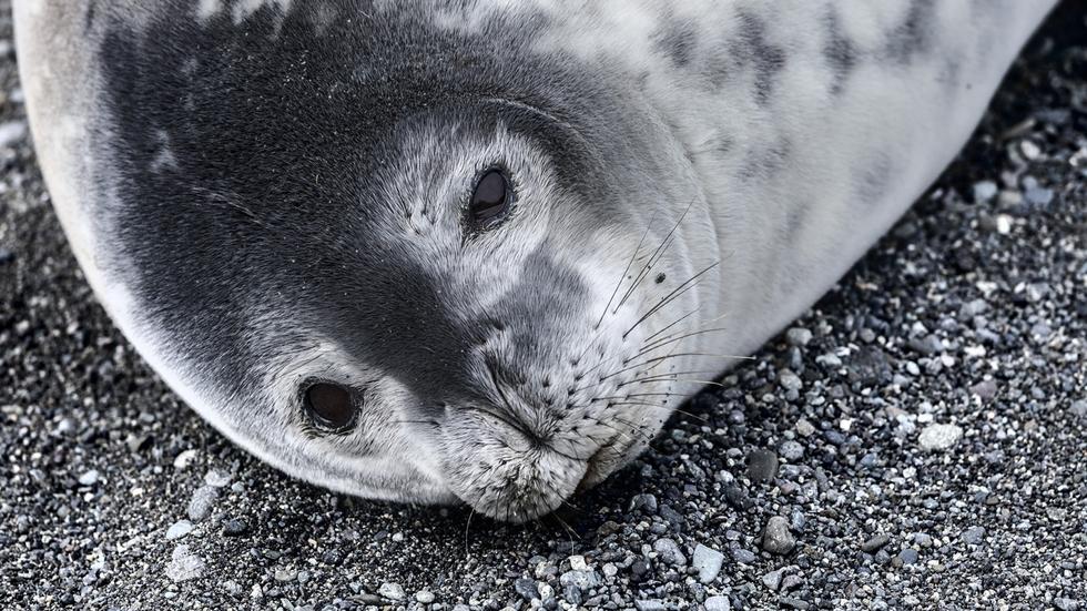 Una foca de Weddell.