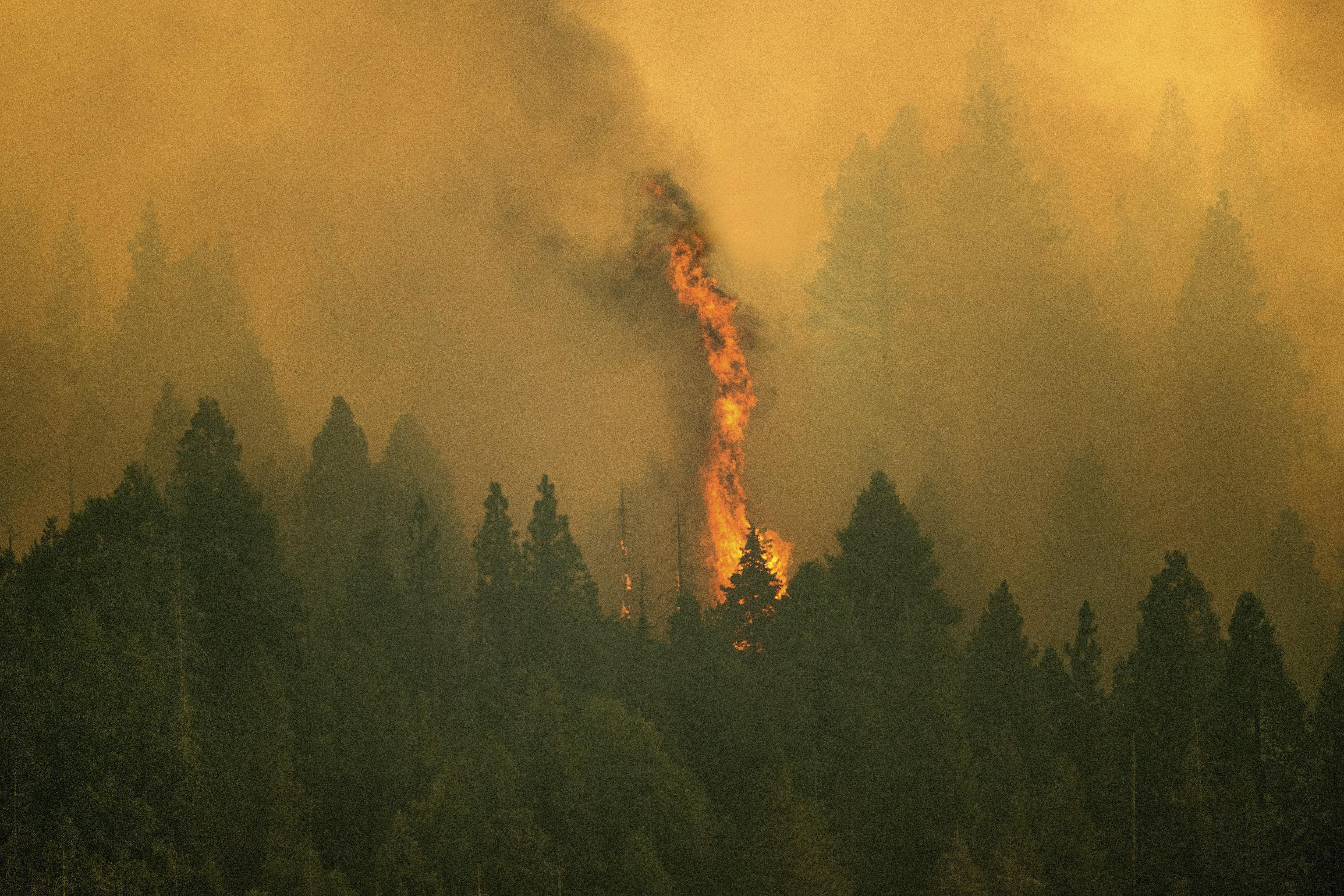 Los incendios amenazan uno de los tesoros del planeta: las gigantescas secuoyas milenarias de California