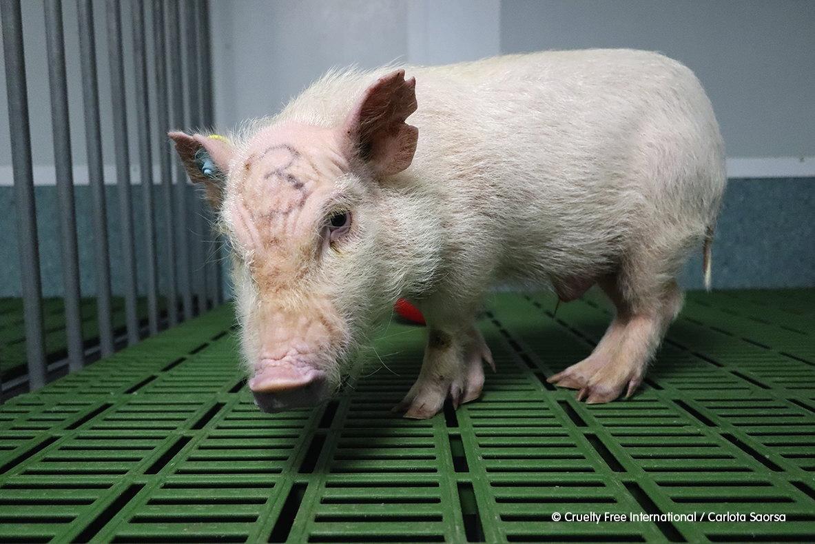 Cerdo retratado por un empleado del laboratorio Vivotecnia, en Madrid.