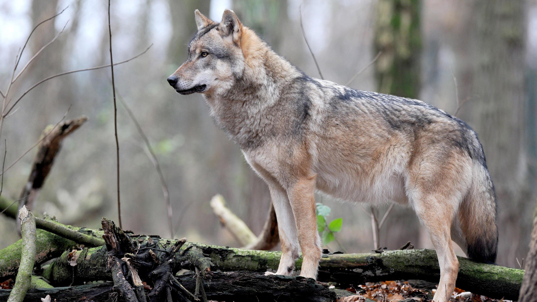 Wolf vor dem Abschuss? Umweltminister Olaf Lies (SPD) will Zahl der Tiere in Niedersachsen begrenzen