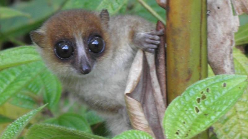Jonah's Mausmaki: Neue Primatenart auf Madagaskar entdeckt