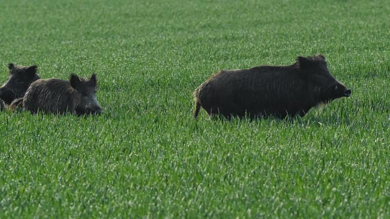 1897 Schweinepest-Fälle: Sperrzonen III aufgehoben
