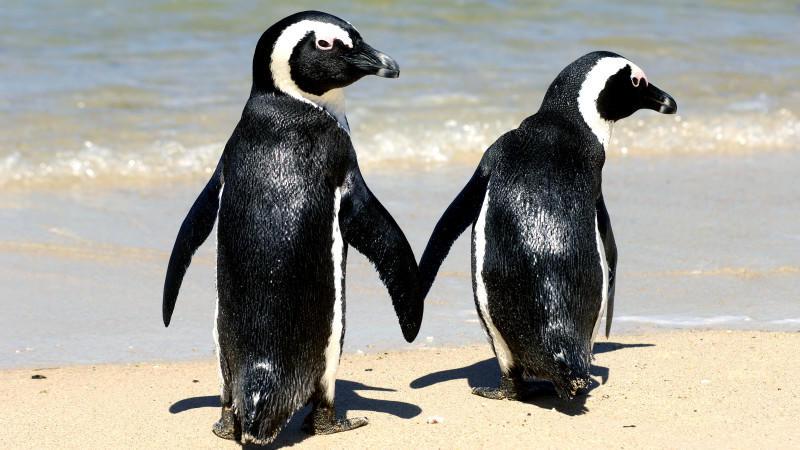 Südafrika: Bienen stechen 64 Pinguine zu Tode - gefährdete Art von Bienenschwarm attackiert