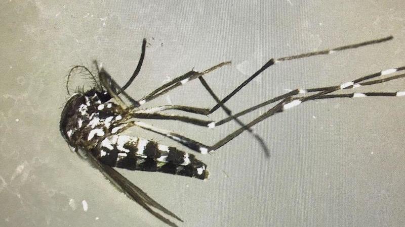 Gefährliche Tigermücke breitet sich im Südwesten aus