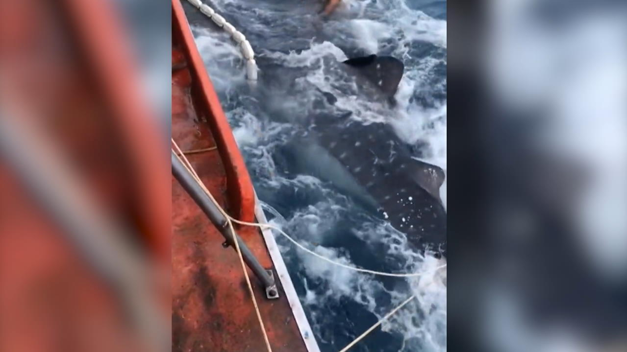 Im Golf von Thailand: Hai-Alarm! - Plötzlich geht Fischer 12-Meter-Koloss ins Netz