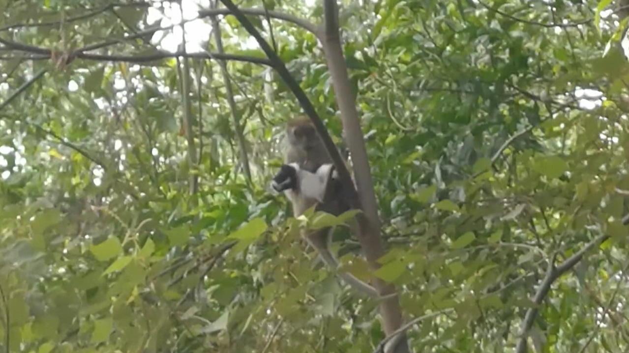 Irre Geiselnahme: Affe entführt Hundewelpen
