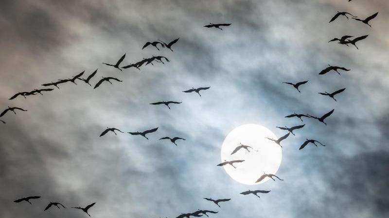 Gefedertes Schauspiel am Himmel: Kraniche fliegen in Süden