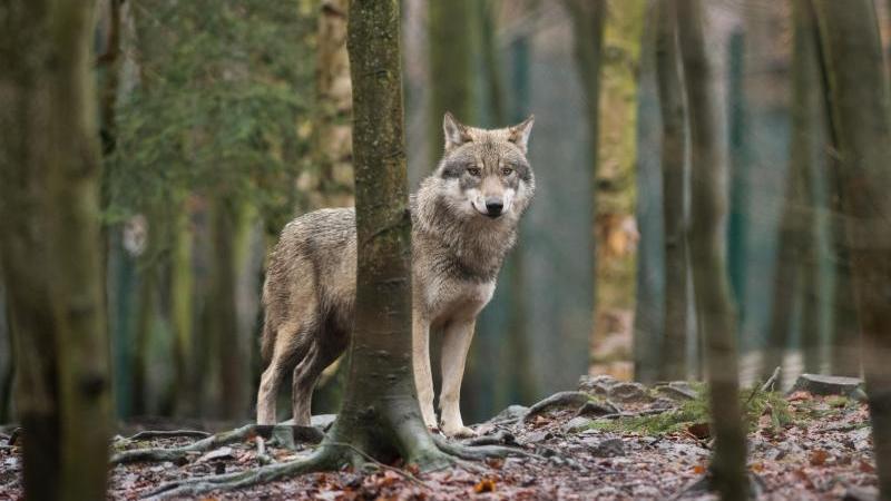 Wolf mit Problemen? Landrat fordert mehr Schutz