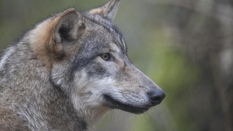 Sorgen wegen des Wolfes: Weidetierhalter demonstrieren