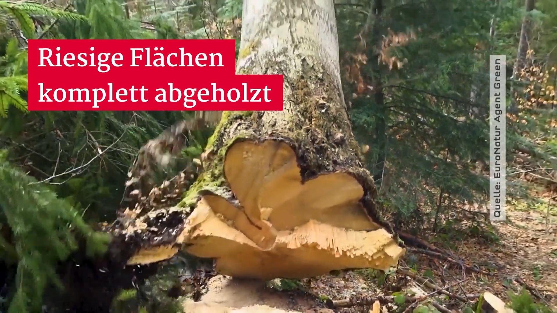 Rumänische Holzmafia zerstört die letzten Urwälder Europas