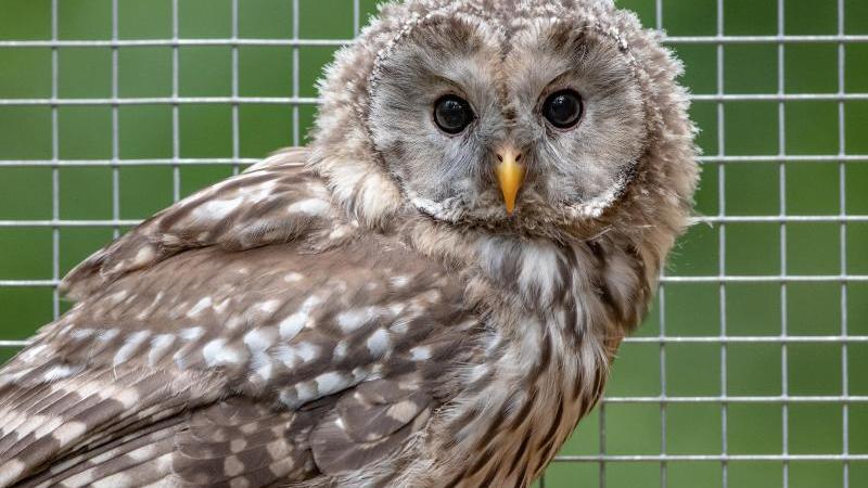 Artenschutzprojekt: 14 Habichtskäuze ausgewildert