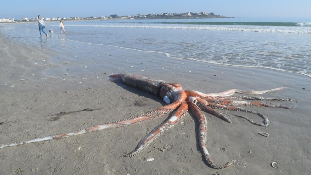 Riesenkalmar an Strand angespült - Forscher stehen vor Rätsel