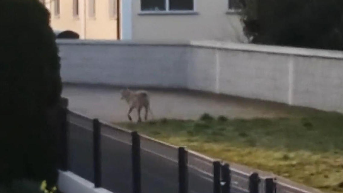 Elster an der Elbe (Sachsen-Anhalt): Hier läuft ein Wolf zur Schule